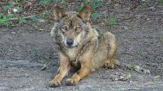 TSJM y el ataque del lobo